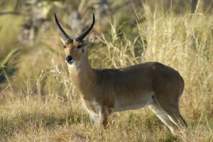 BQ-Reedbuck-Common