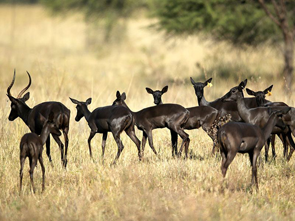 Black-Impala-Breeding-Herd (2)