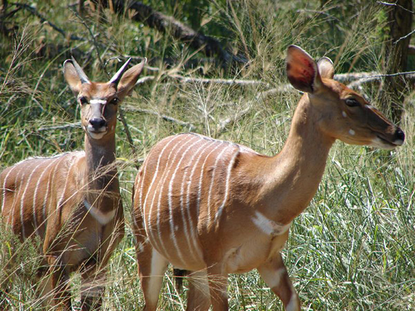 Nyala-Ewe-and-Young-Ram