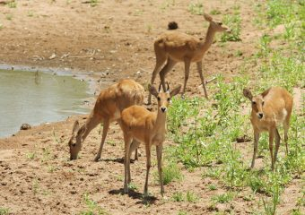 Southern-Reedbuck-Ram-and-Ewes