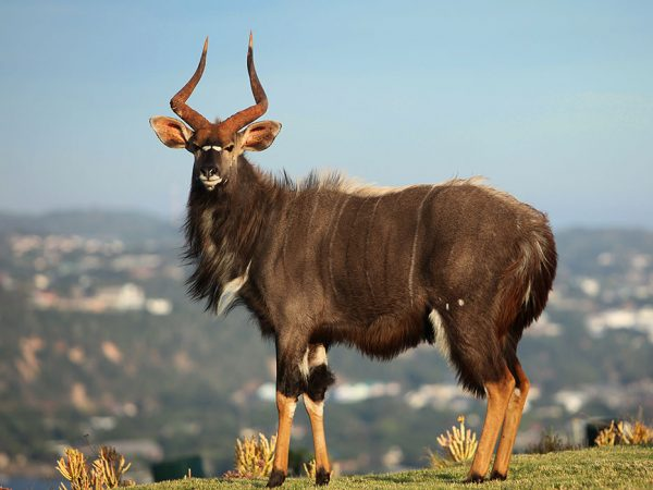 The Nyala is one of the most beautiful buck species in Africa. They are elegant and inquisitive.
